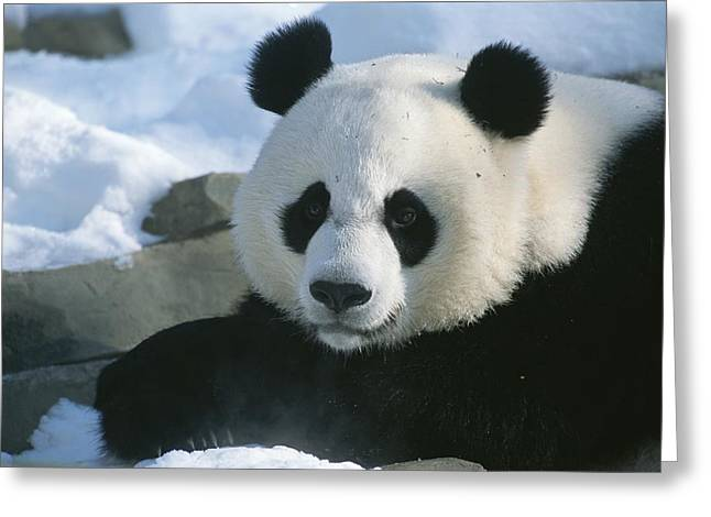 Bask Greeting Cards - A panda at the National Greeting Card by National Geographic