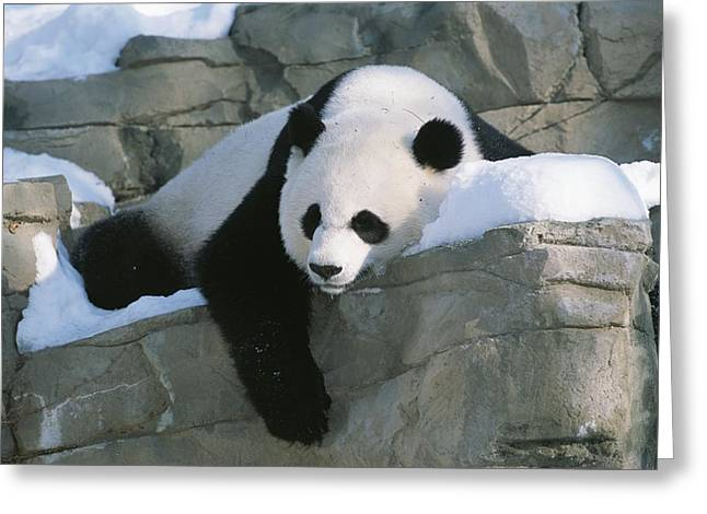 Animals Sleeping Greeting Cards - A panda rests in the Greeting Card by Taylor S. Kennedy