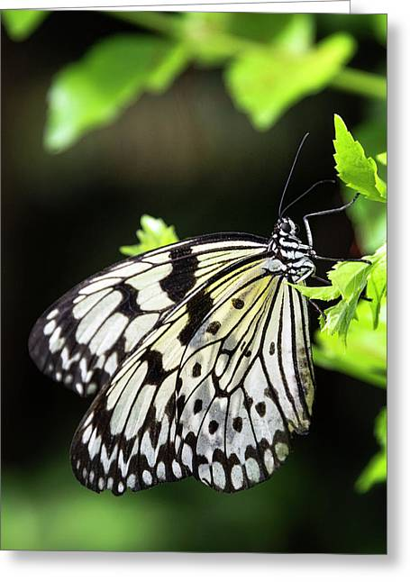Greeting Card featuring the photograph A Paper Kite Butterfly On A Leaf  by Saija Lehtonen