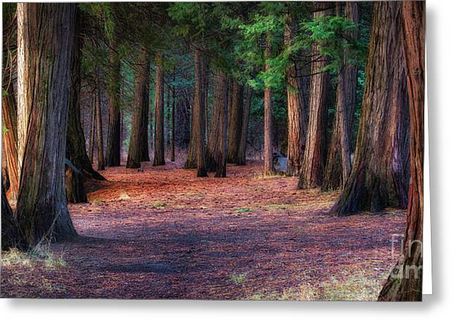 A Path Of Redwoods Greeting Card
