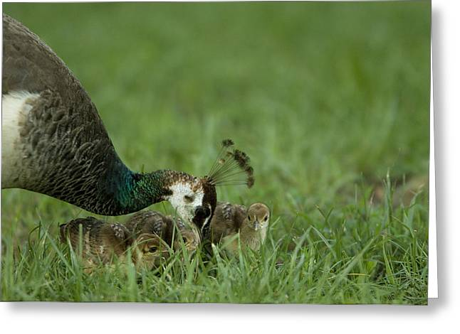 A Peahen And Her Chicks Greeting Card by Joel Sartore