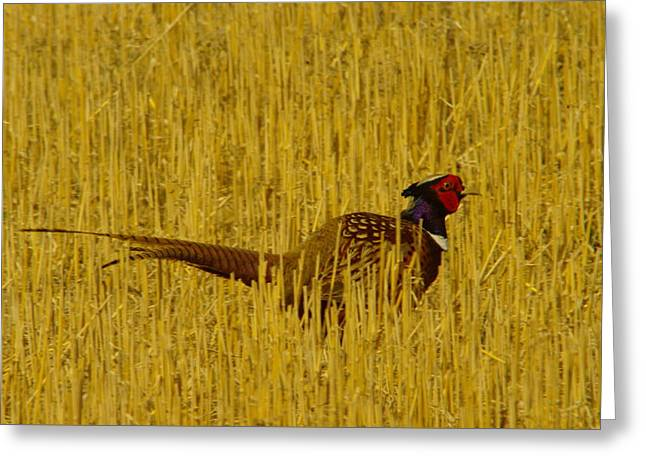 A Pheasant Looking For A Mate Greeting Card by Jeff Swan