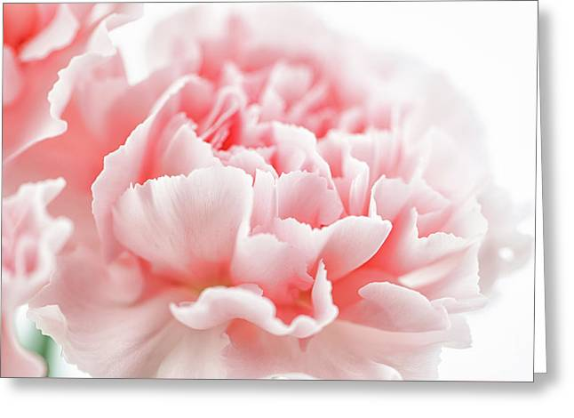 A Pink Carnation Greeting Card