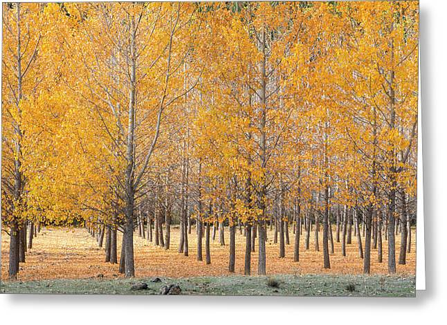 A Plantation Of Black Poplar Trees, In The Serrania De Cuenca, Spain. Greeting Card