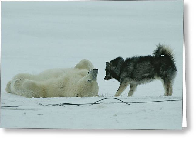 Huskies Greeting Cards - A Polar Bear Lolls On His Back While Greeting Card by Norbert Rosing