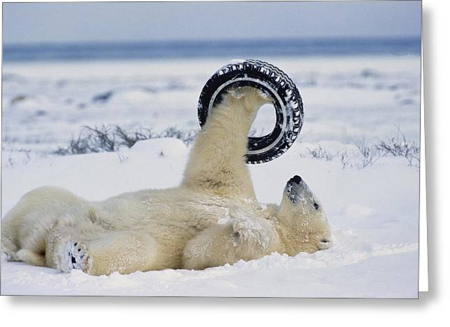 Ursus Maritimus Greeting Cards - A polar bear plays with Greeting Card by Norbert Rosing