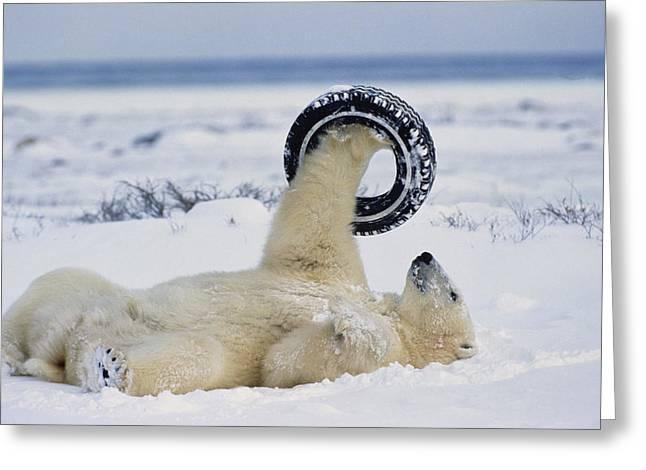 A Polar Bear Plays With Greeting Card