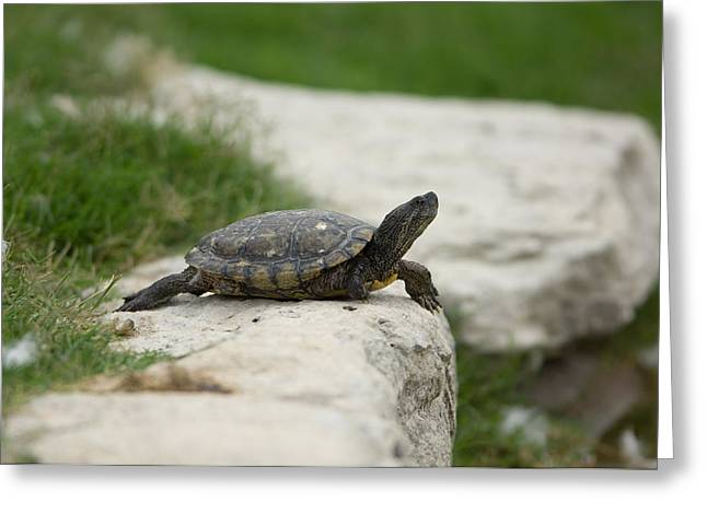 A Pond Turtle At The Sunset Zoo Greeting Card