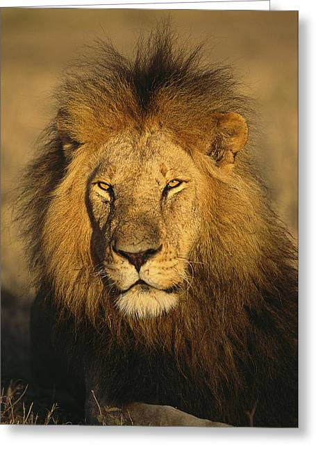 Wildcats Greeting Cards - A portrait of a male Greeting Card by National Geographic