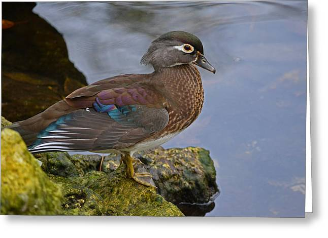 A Pretty Female Painted Wood Duck Greeting Card
