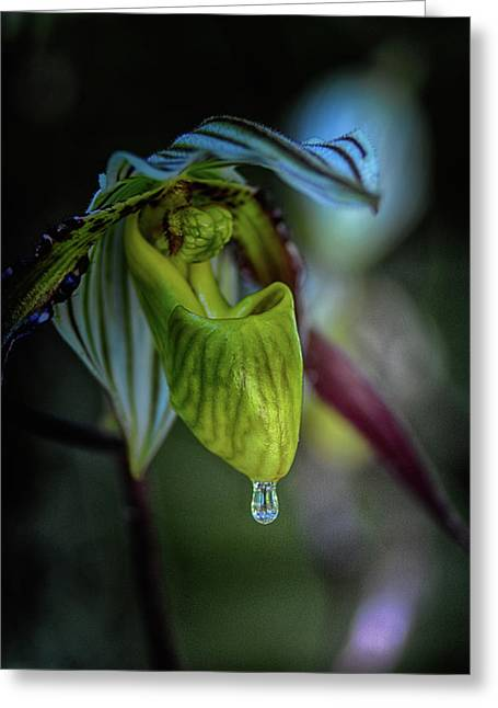 A Raindrop On A Lady Slipper Greeting Card by Don Columbus