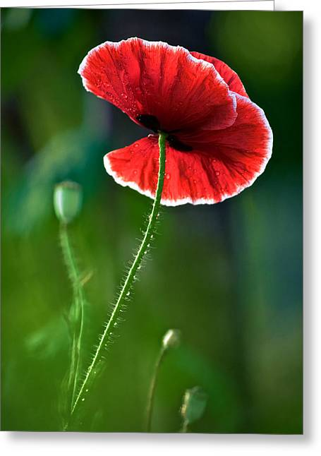 A Red And White Poppy Flower Greeting Card