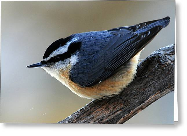 A Red-breasted Nuthatch Greeting Card by Mike Martin