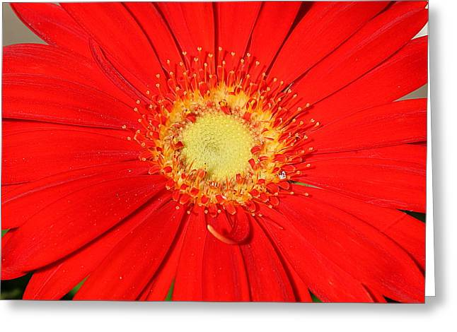 Greeting Card featuring the photograph A Red Explosion by Sheila Brown