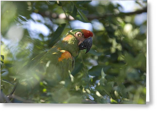 A Red-fronted Macaw At The Sedgwick Greeting Card by Joel Sartore