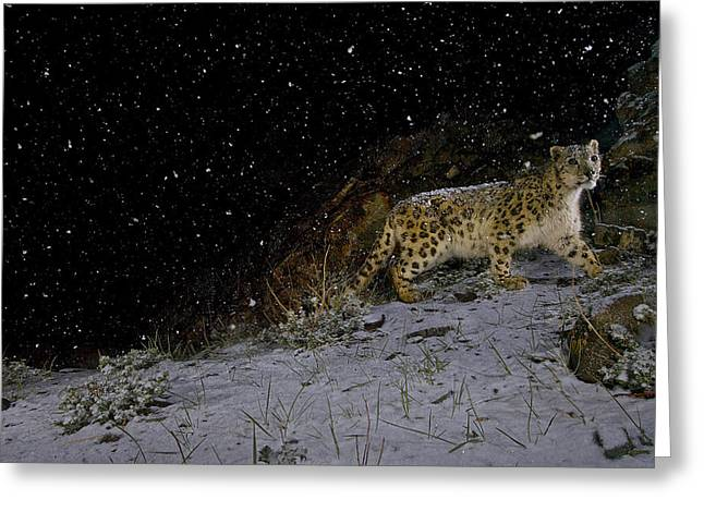 Remote Cameras Greeting Cards - A Remote Camera Captures A Snow Leopard Greeting Card by Steve Winter