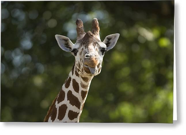 A Reticulated Giraffe Sticks Its Tongue Greeting Card by Joel Sartore