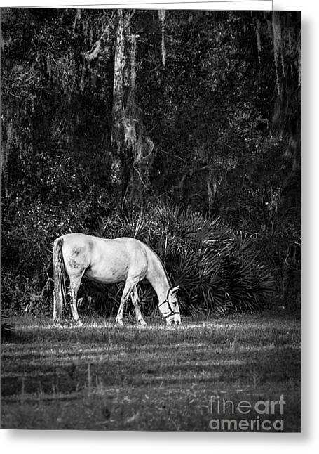 A Retired Lipizzan's Life, Black And White Greeting Card by Liesl Walsh