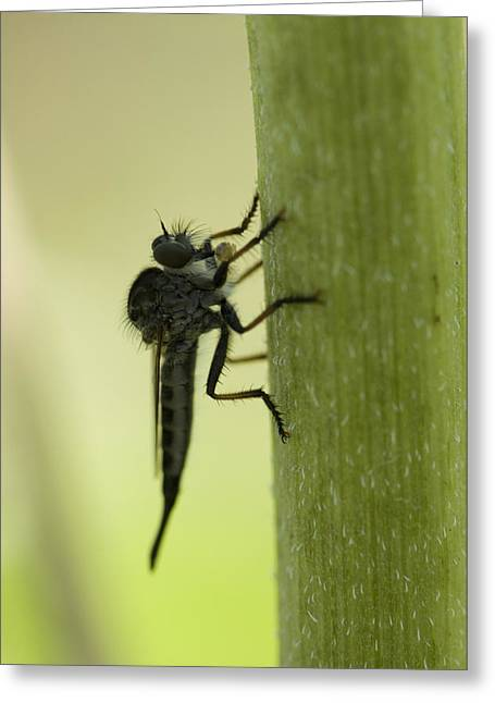 A Robber Fly Asilidae Rests On A Leaf Greeting Card by Joel Sartore