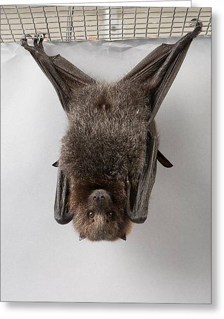 A Rodrigues Fruit Bat Pteropus Greeting Card by Joel Sartore