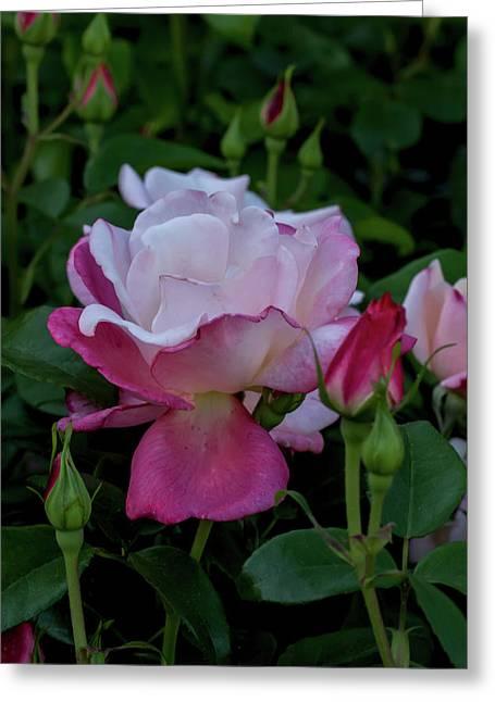 A Rose Garden Awakens Greeting Card