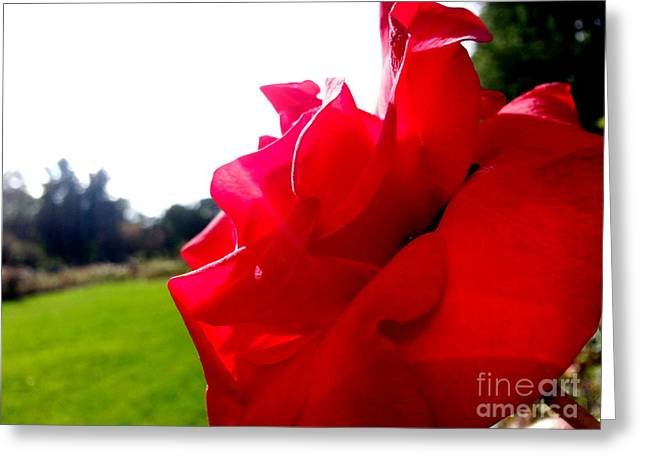 A Rose In The Sun Greeting Card