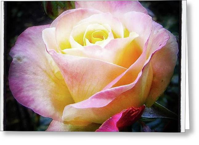 A Rose Is A Rose Is A Rose, Variation Greeting Card by Mr Photojimsf