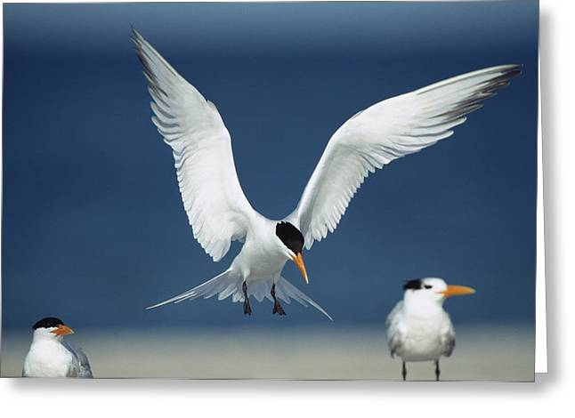 A Royal Tern Descending In Flight Greeting Card by Klaus Nigge