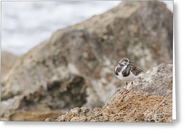 A Ruddy Turnstone Perched On The Rocks Greeting Card