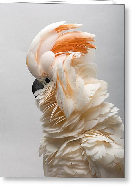 A Salmon-crested Cockatoo Greeting Card by Joel Sartore