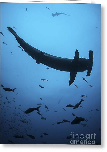 A Scalloped Hammerhead Shark Swims Greeting Card by Ethan Daniels