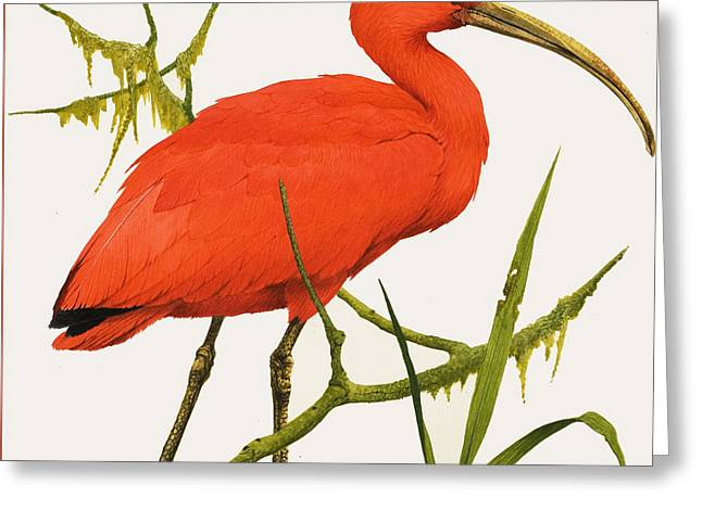 A Scarlet Ibis From South America Greeting Card by Kenneth Lilly