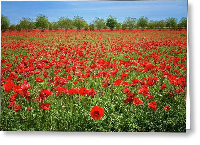 A Sea Of Texas Red Corn Poppies Greeting Card by Lynn Bauer