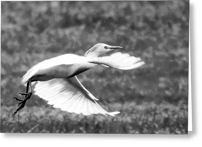 A Short Flight Bw Greeting Card