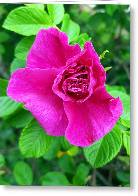 A Shy Rose Awakens Greeting Card by Alys Caviness-Gober