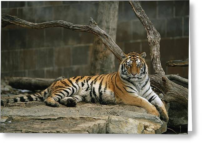 A Siberian Tiger Rests In Her Outdoor Greeting Card by Joel Sartore