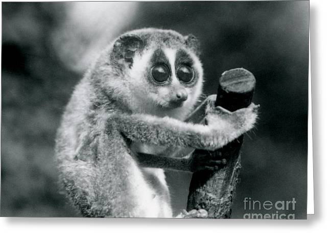 A Slender Loris Holding On To The End Of A Branch Greeting Card