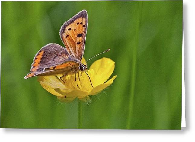 A Small Copper Butterfly (lycaena Greeting Card by John Edwards