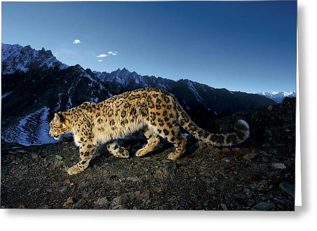 Remote Cameras Greeting Cards - A Snow Leopard Traverses A Rocky Slope Greeting Card by Steve Winter