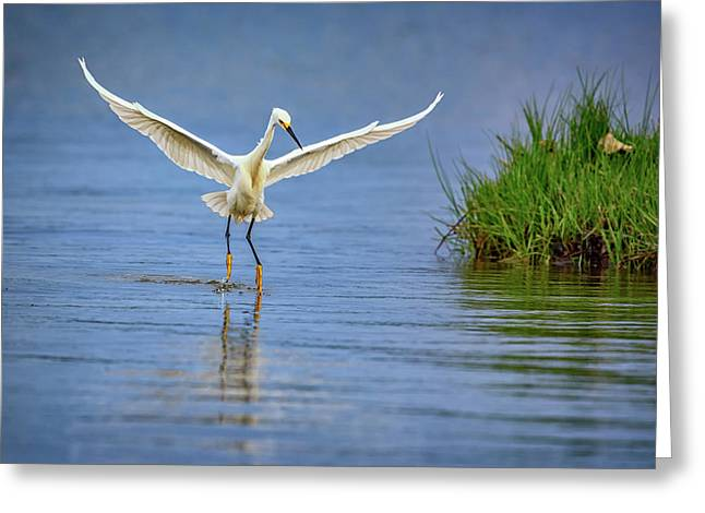 A Snowy Egret Dip-fishing Greeting Card by Rick Berk