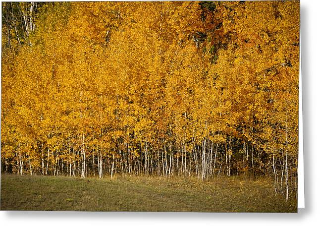 A Stand Of Aspen Greeting Card