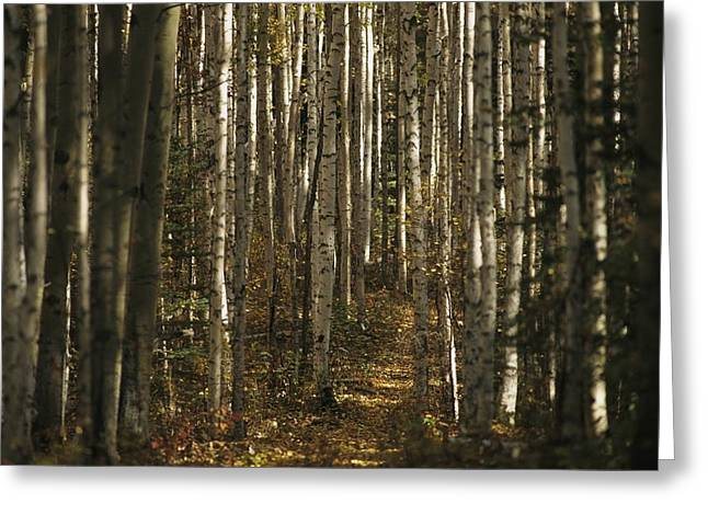 A Stand Of Birch Trees Show Greeting Card by Raymond Gehman