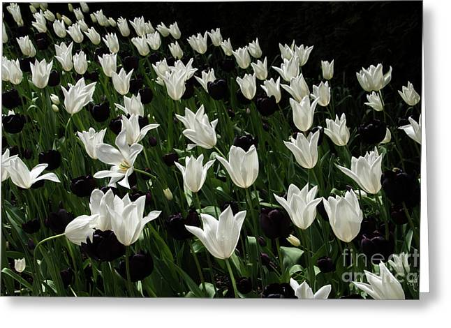 A Study In Black And White Tulips Greeting Card