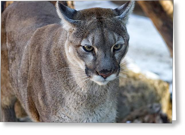 A Stunning Mountain Lion Greeting Card