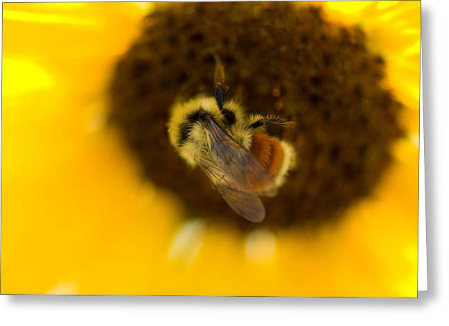 A Sunflower And Bumble Bee In Eastern Greeting Card by Joel Sartore