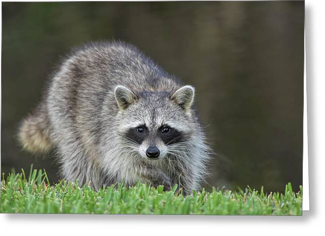 A Surprised Raccoon Greeting Card