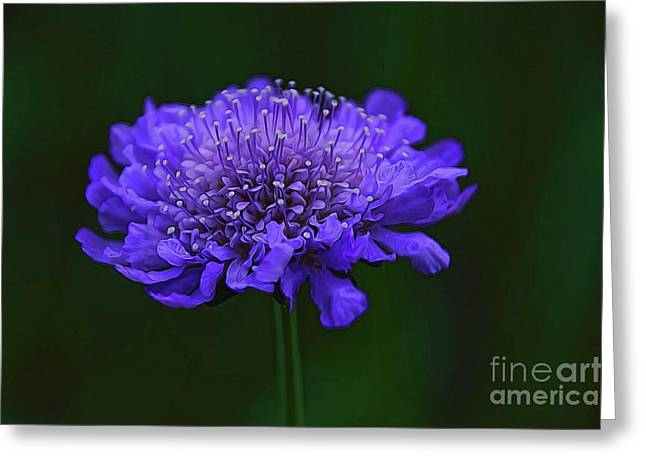 A Sweet Scabiosa Greeting Card