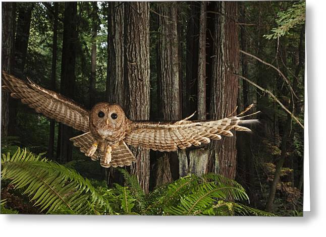 A Tagged Northern Spotted Owl Greeting Card by Michael Nichols