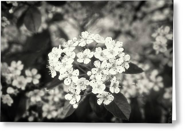 A Thousand Blossoms Sepia 3x2 Greeting Card