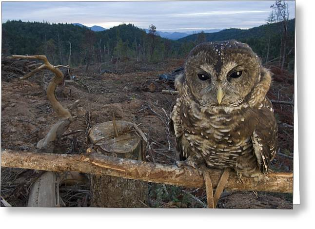 Clear Cut Greeting Cards - A Threatened Northern Spotted Owl Greeting Card by Joel Sartore